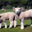La Pasqua di Luigi Lombardi Vallauri: dal fervore per la resurrezione alla vicinanza con gli agnelli / ASCOLTA