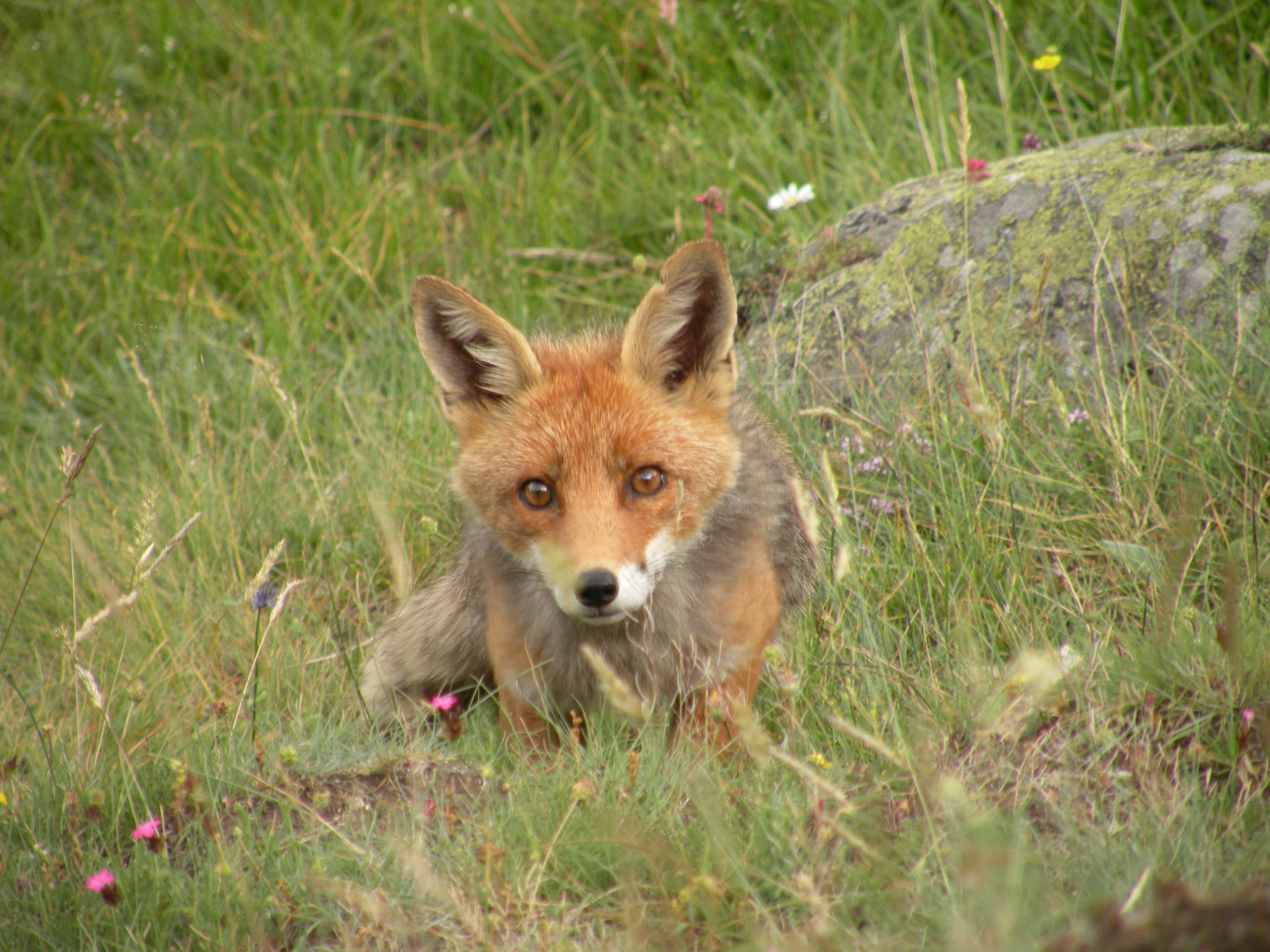 Fabrizio ci scrive ho incontrato la rossa signora del - Immagini di volpe spugna a colori ...