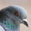 La Toscana ora stermina i piccioni. Quando la politica massimizza la violenza