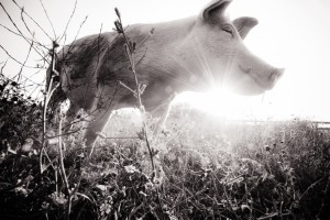 """Jane at sunset. Farm Sanctuary, New York, USA, 2012"", by Jo-Anne McArthur"