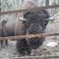 7/1/17 – L'ultimo bisonte di Cavriglia; novità 2017: la rubrica di libri per bambini