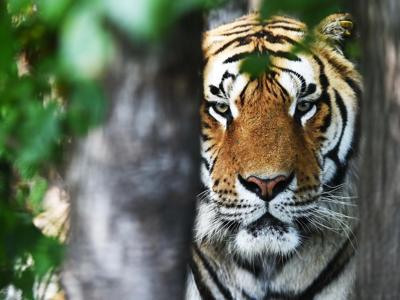 16/9/17 – C'è chi punta sulle tigri; nuovi rifugi nascono; la scommessa della carne in vitro