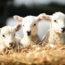 31/3/18 – Pasqua, dalla parte degli agnelli; San Francisco senza pellicce; Farmacologia, processo alle battute finali