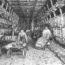 26/6/20 – Il contagio nei mattatoi; l'orrore di Yulin continua; Trentino in guerra con gli orsi